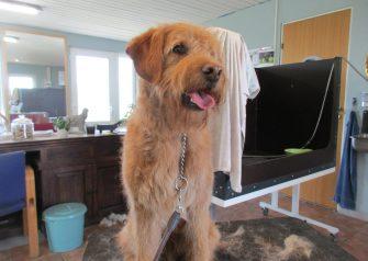 Hundesalon alt for hunden - før og efter Jens