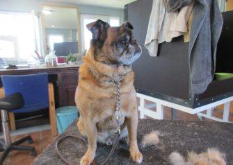 Hundesalon alt for hunden - før og efter Alfred
