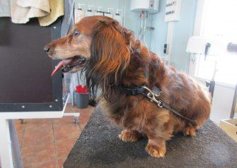 Hundesalon alt for hunden - før og efter Gizmo