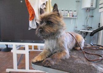 Hundesalon alt for hunden - før og efter Buller