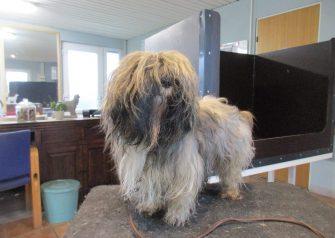 Hundesalon alt for hunden - før og efter Aslan