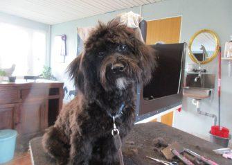 Hundesalon alt for hunden - før og efter Theo