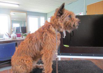 Hundesalon alt for hunden - før og efter Amy
