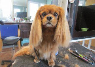 Hundesalon alt for hunden - før og efter Lucky