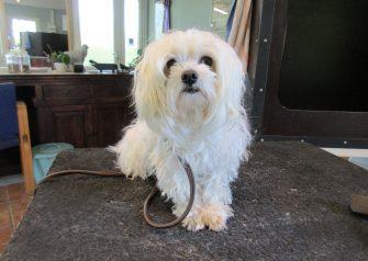 Hundesalon alt for hunden - Malte