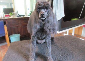 Hundesalon alt for hunden - Daisy