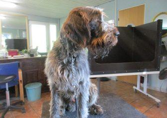 Hundesalon alt for hunden - Thor