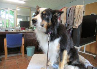 Hundesalon alt for hunden - Bailey