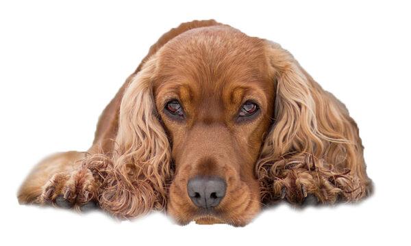 Priser hundesalon 2019 - Cocker Spaniel